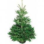 Weihnachtsbaum Echte Nordmanntanne 125 – 150 cm um 9,99 €